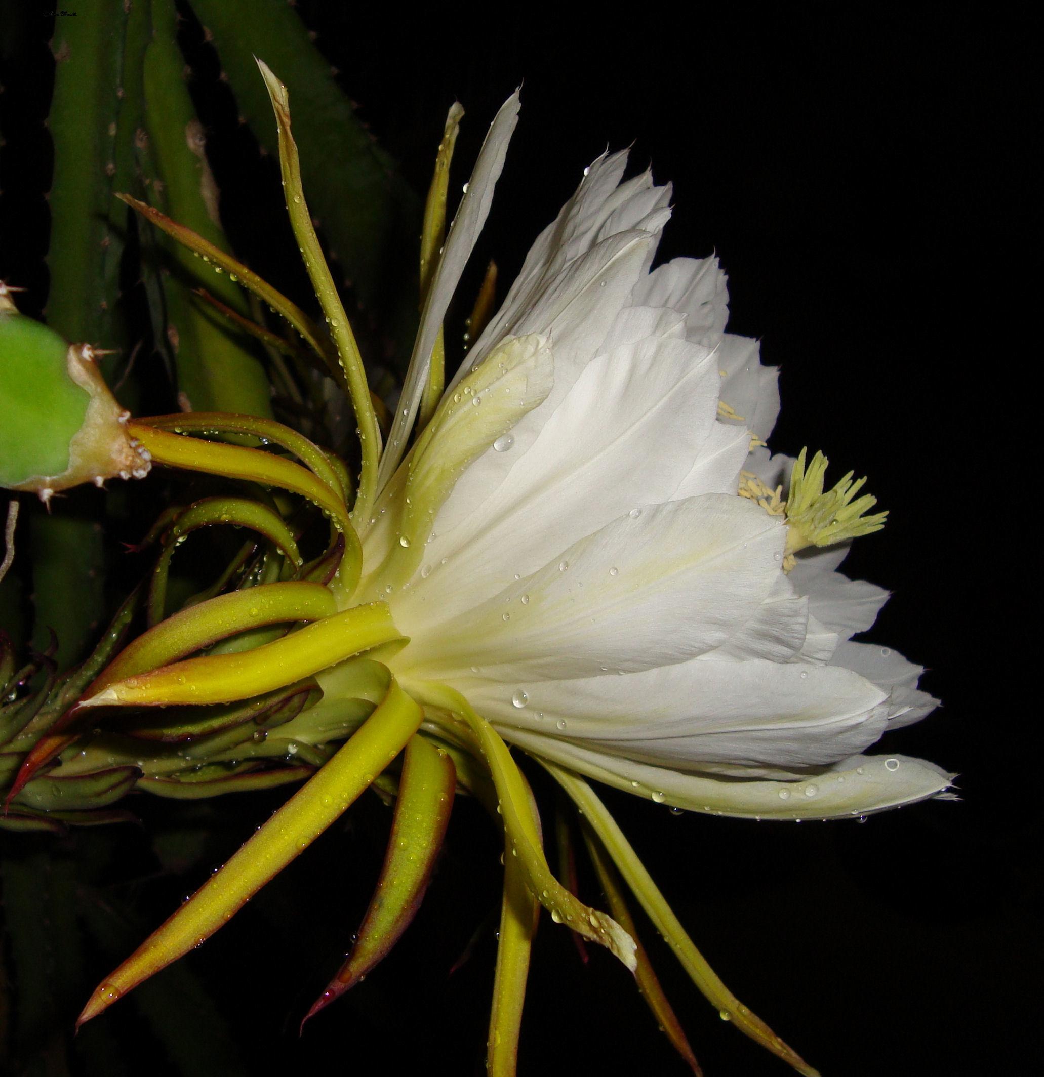 Dama di Anochi, Cereus grandiflorus