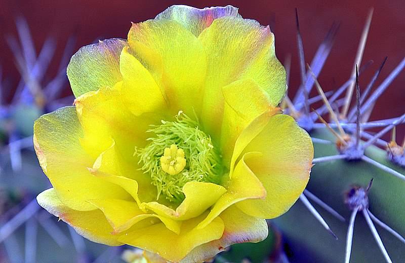 Bloem van een schijfcactus, Opuntia humifusa