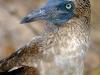 Blue footedbooby