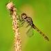 Bruine Libelle