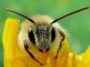 Close up van een bijtje