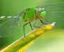 Groene Libele