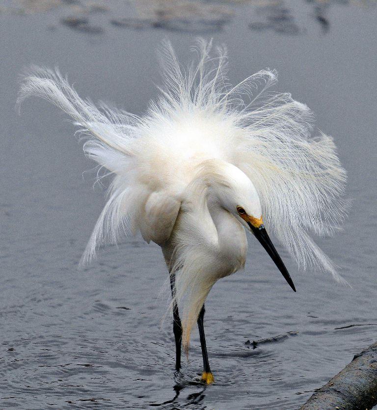 Witte reiger in de wind