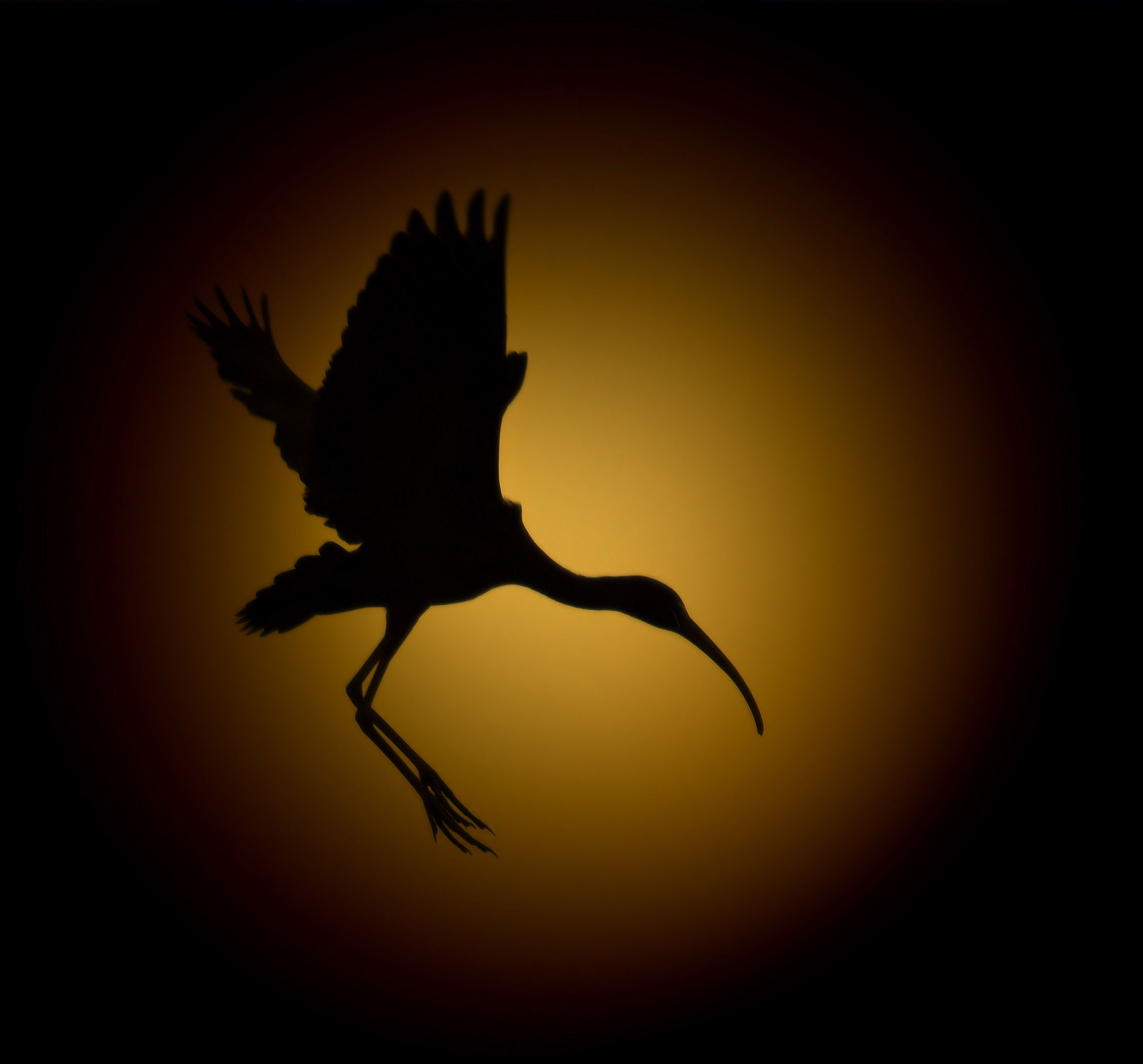 Silhouette, Evening flight of an Ibis