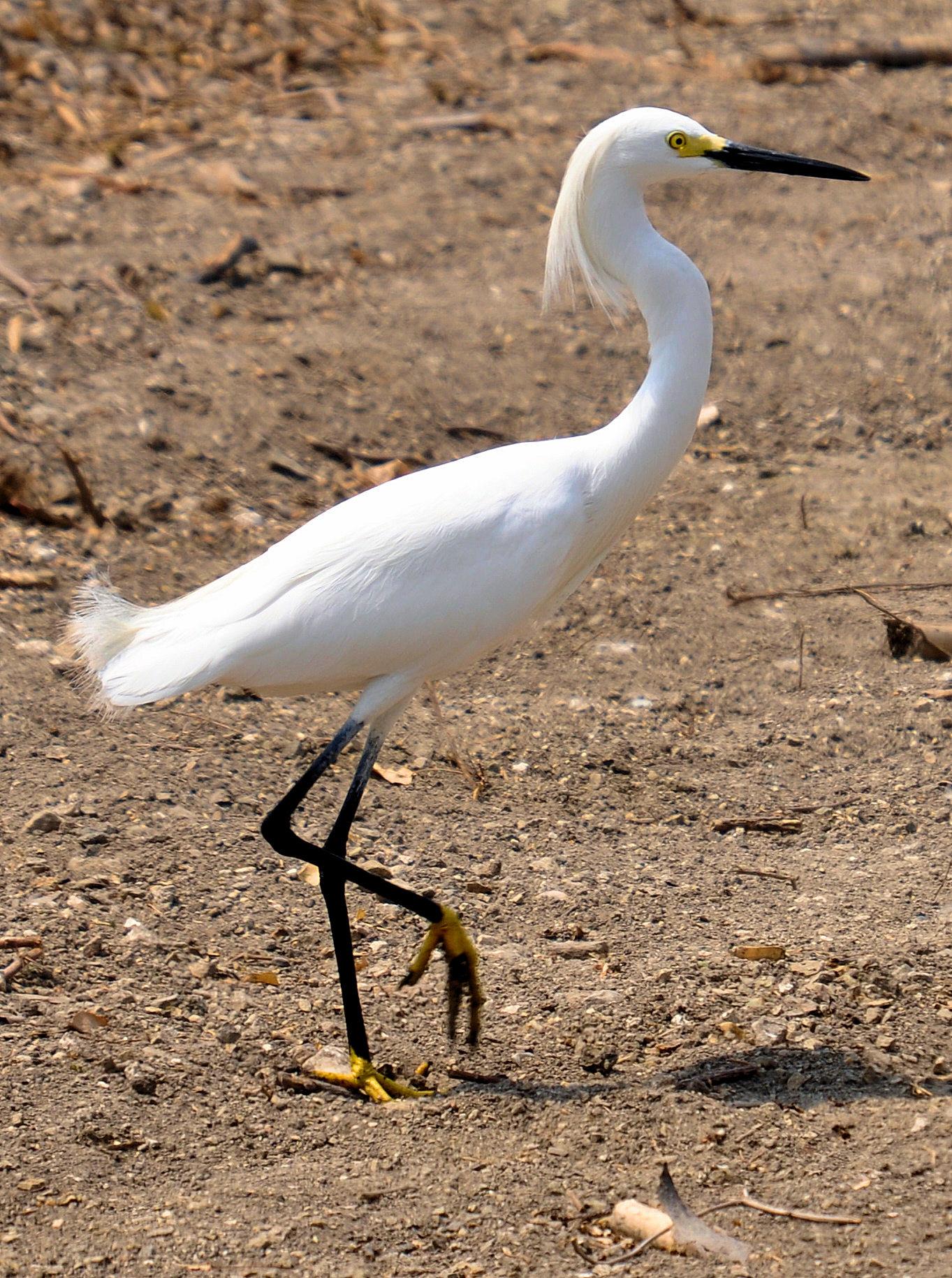 Witte reiger