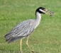 Night Heron met een crabje als lunch