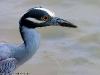 Clos up van een Night heron